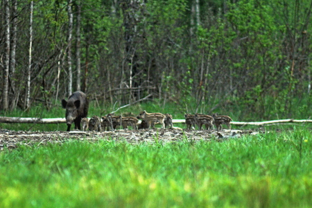 Adult females of wild boars and small pigs, feeding in a forest glade in the spring, in early May.