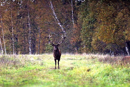 European red deer, in the mating period, at the end of October. Great illustration of nature. Stock Photo
