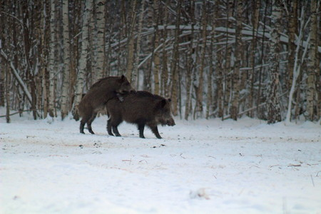 Wild boars feeding in the forest during the cold season. image of animals habitat