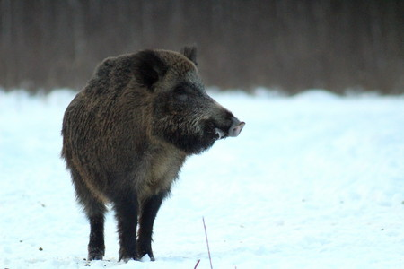 Aggressive wild boar defending the forest glade. The unique image of hunting animals.