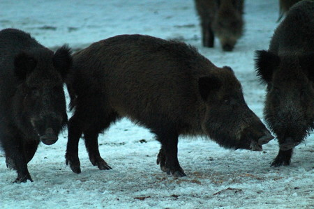 Wild boars in the winter. A unique image of animals in their natural habitat. 免版税图像