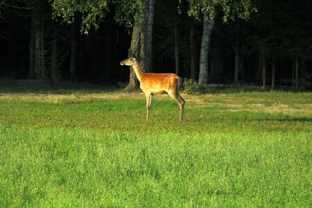 European deer females with young calves feeding in a forest glade on a warm summer evening. Unique image of animals in their natural habitat