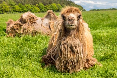 Camel photo