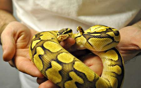 Baby bal python