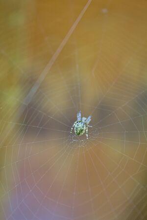 European green spider on its web center Reklamní fotografie