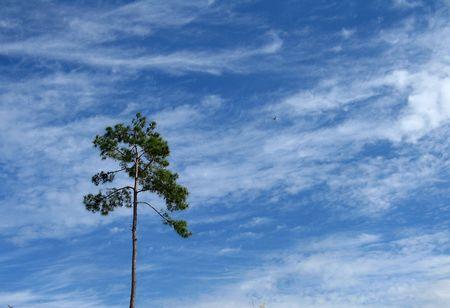 lone pine: �rbol de pino solitario en cielo Foto de archivo