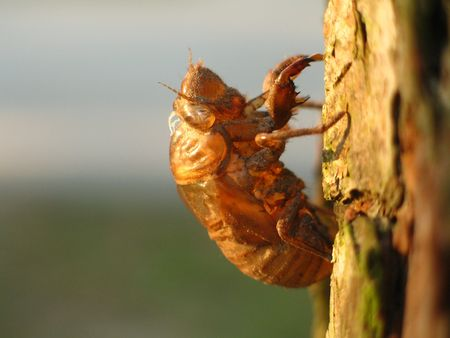 Cicada shell against blurred background photo