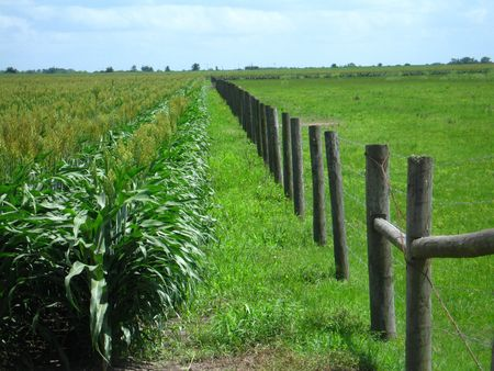 parallel rows of corn and a fence line on a family farm.   photo