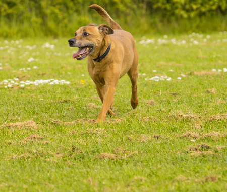 Cross Staffordshire Dog