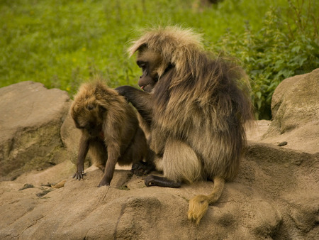 b�b� singe: Mother and Baby Monkey Banque d'images