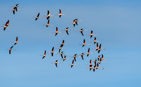 freedom: Forty-two flamingos in freedom
