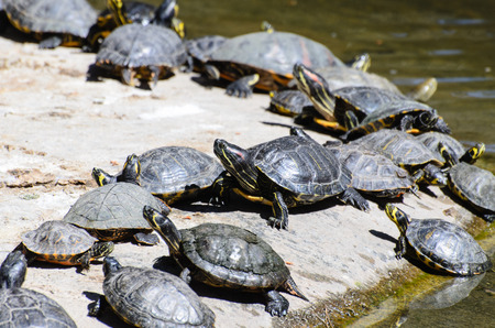 sunning: turtles sunning Stock Photo