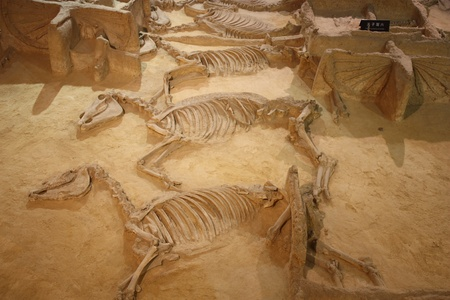 decease: Archaeological museum of Luoyang city in China, July 22, 2010 - Ancient skeletons of horses with chariots