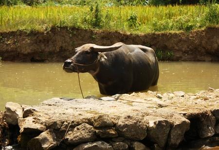 Water buffalo refreshing photo