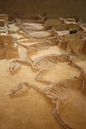 carbonaceous: Archaeological museum of Luoyang city in China, July 22, 2010 - Ancient skeletons of horses with chariots