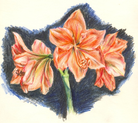 Hand painted pencilled Amaryllis flower photo