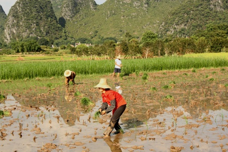 Farmers working in wet rice field in China, Yangshou - August 4, 2010
