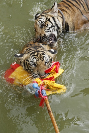 Tigers play in water at the Buddhist Tiger temple near Kanchanaburi, Thailand photo