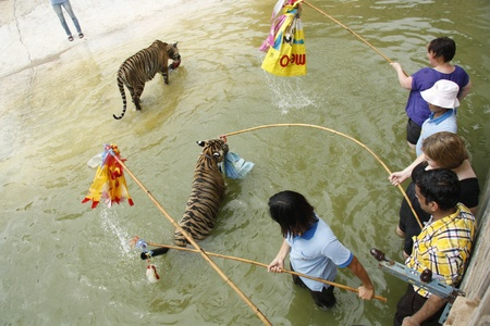 Tourists play with tigers in water at the Buddhist Tiger temple near Kanchanaburi, Thailand