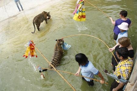tigresa: Turistas jugar con los tigres en el agua en el templo budista cerca de Tiger Kanchanaburi, Tailandia Editorial