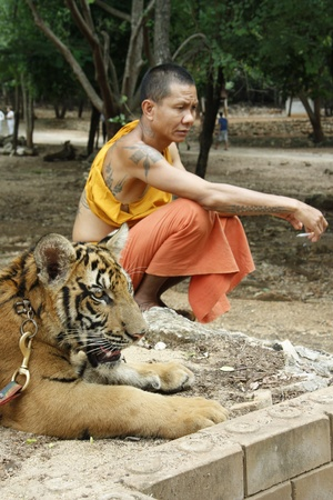 sacramental: Buddhist monk and the Tiger in a Tiger Temple, Kanchanaburi province, Thailand