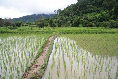 Flooded paddy fields in Thailand Stock Photo - 13041859