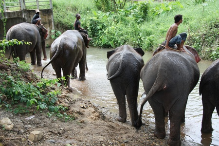east riding: Elephants with drivers at the river in Chiang Mai, Thailand - 27.07.2011