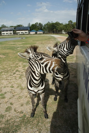Tourists on safari contact with zebras from the bus, Kanchanaburi Safari Park, Thailand photo