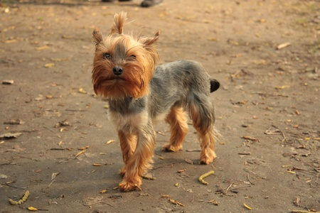 Yorkshire terrier in the park photo