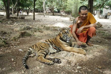 sacramental: Buddhist monk and the Tiger in a Tiger Temple, Kanchanaburi province, Thailand - 05.08.2011