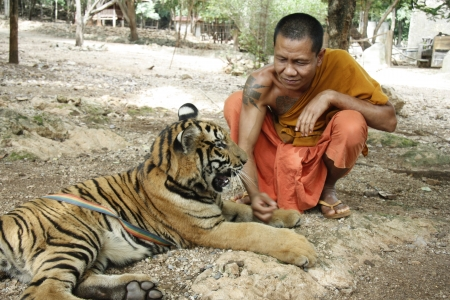 Buddhist monk and the Tiger in a Tiger Temple, Kanchanaburi province, Thailand - 05.08.2011
