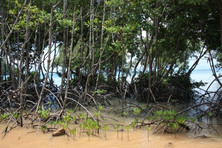 Tropical Young Mangrove trees in river, Thailand photo