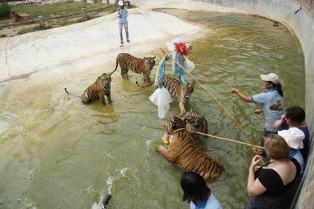 frienship: People play with tigers in water at the Buddhist Tiger temple near Kanchanaburi, Thailand - 05.08.2011