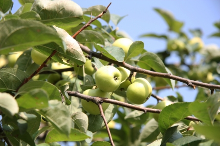 Apple tree with apples over blue sky on a summer day Stock Photo - 15391835
