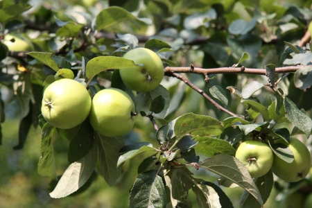 Apple tree with apples on a summer day Stock Photo - 15433102