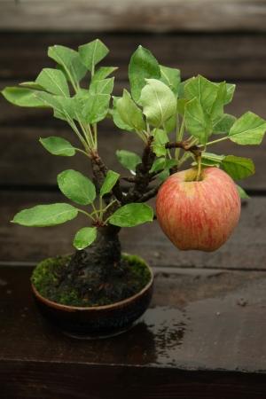 Bonsai miniature apple tree with a ripe apple photo