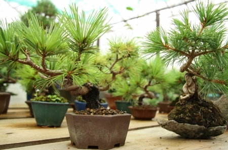 Bonsai miniature tree in a garden photo