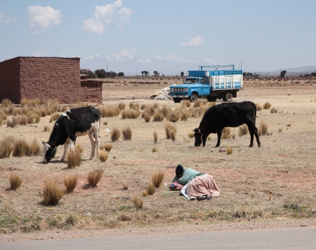 Woman Shepherd and cows in a farm, Bolivian Altiplano, Andes, South America - 08 09 2013 Stock Photo - 25043361