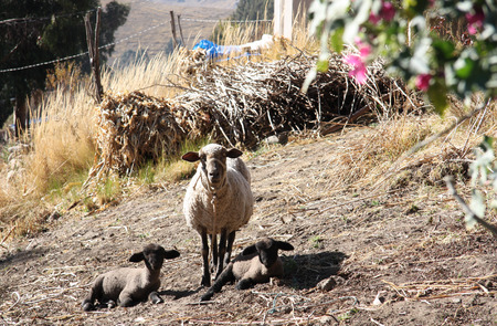lambing: Mother Sheep and two Babies Lambs at the pasture