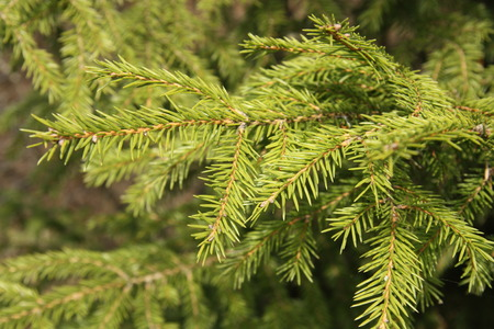 twiggy: A background of a young green fir tree