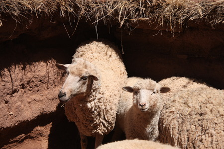 lambing: Herd of white sheep in a clay paddock, South America Stock Photo