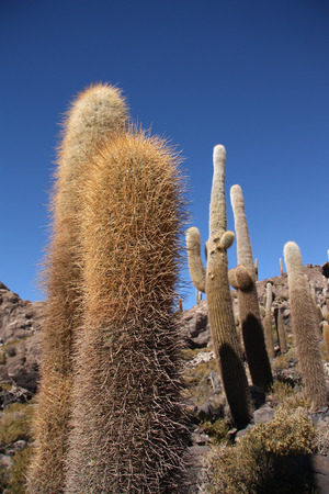 incahuasi: Huge Cactuses over blue sky in Salar de Uyuni, Bolivia