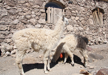 incahuasi: Lamas in a village at Isla del Pescado, Salar de Uyuni, Bolivia Stock Photo