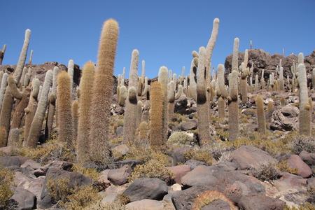 pescados: Huge Cactuses, Isla del Pescado - Incahuasi island, Salar de Uyuni, Bolivia Stock Photo