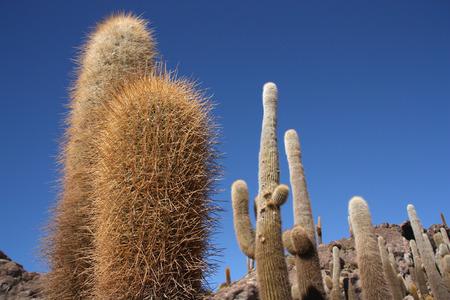 pescados: Huge Cactuses over blue sky, Isla del Pescado - Incahuasi island in Salar de Uyuni, Bolivia