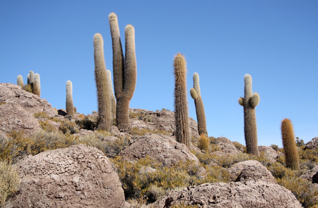 pescados: Huge Cactuses in stones, Isla del Pescado - Incahuasi island in Salar de Uyuni, Bolivia