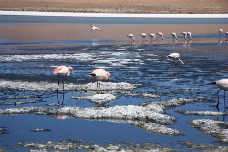 atacama: Pink flamingos in the lagoon in Salar de Uyuni, Bolivia