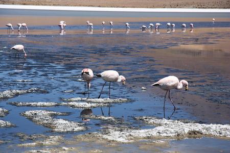 birds desert: Flamingos in lagoon of Salar de Uyuni, Bolivia