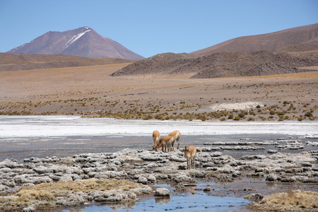 Landscape in Andes of Bolivia with volcano, lagoon and Vicunas photo