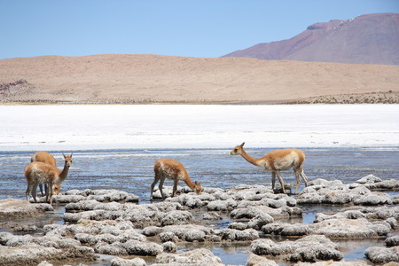 river stones: Group of Vicunas in the lagoon of Andes in Bolivia